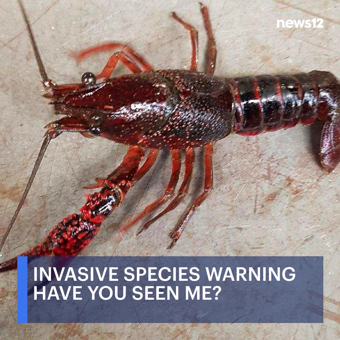 Red-swamp crawfish