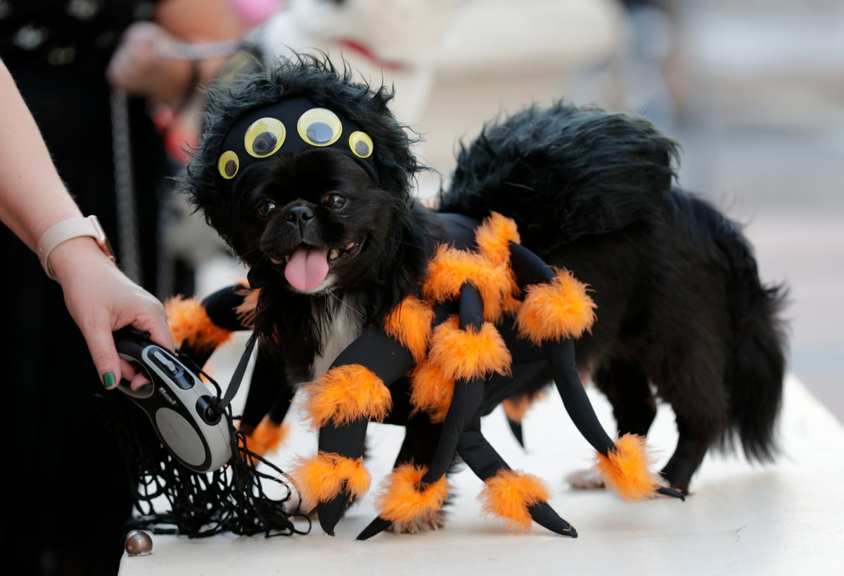 A dog named Punky, dressed in a spider costume, waits to compete during the annual Halloween dog costume contest at the Coral Gables Museum, Thursday, Oct. 31, 2019, in Coral Gables, Fla. (AP Photo/Lynne Sladky, File)